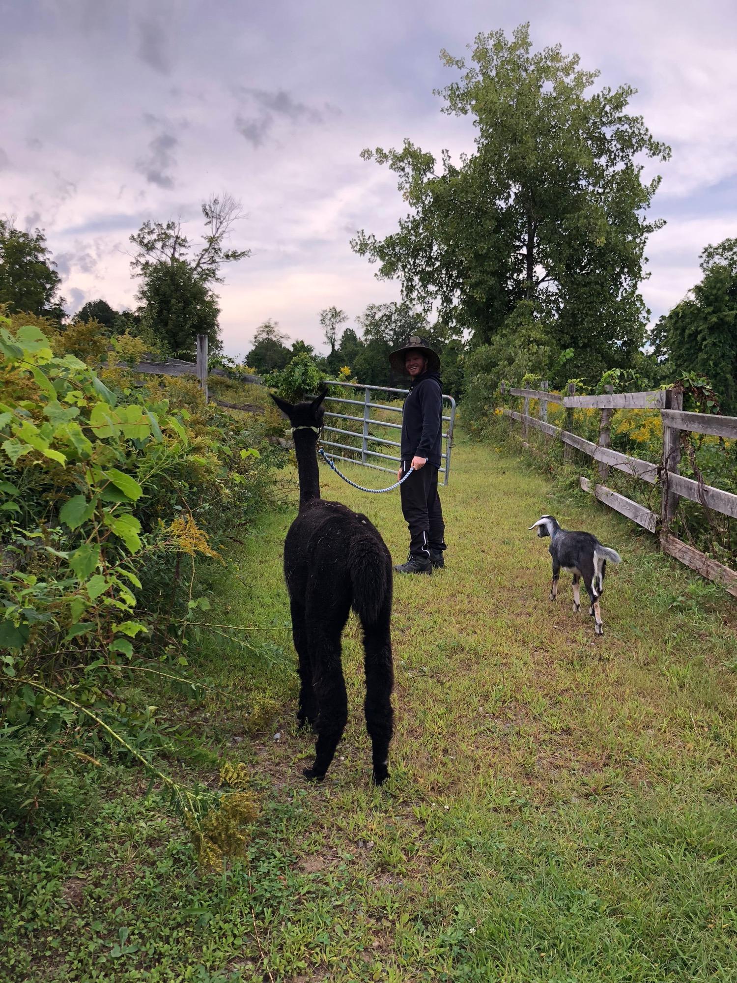 felix-walk-alpaca.jpg