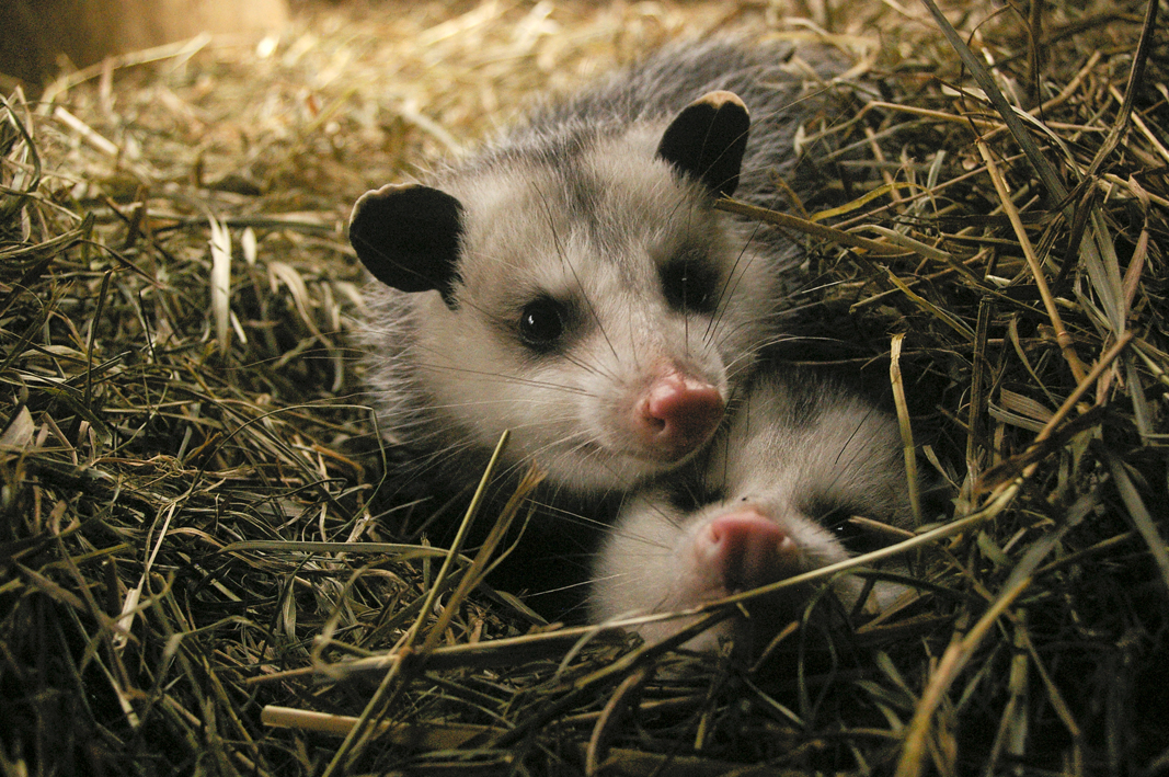 Wild Wonders - Opossums, fox and eagles, oh my.The Need: Permanently injured or orphaned animals aren't able to survive in the wild on their own.What Happened Next: The Trailside Zoo cares for these native critters, from opossum to raptors, reptiles and more.Our Outcome: Zoo inhabitants live a good life and teach visitors about conservation.What You Can Do: Make sure we have enough food and supplies to care for our furry (and not-so furry) friends. DONATE