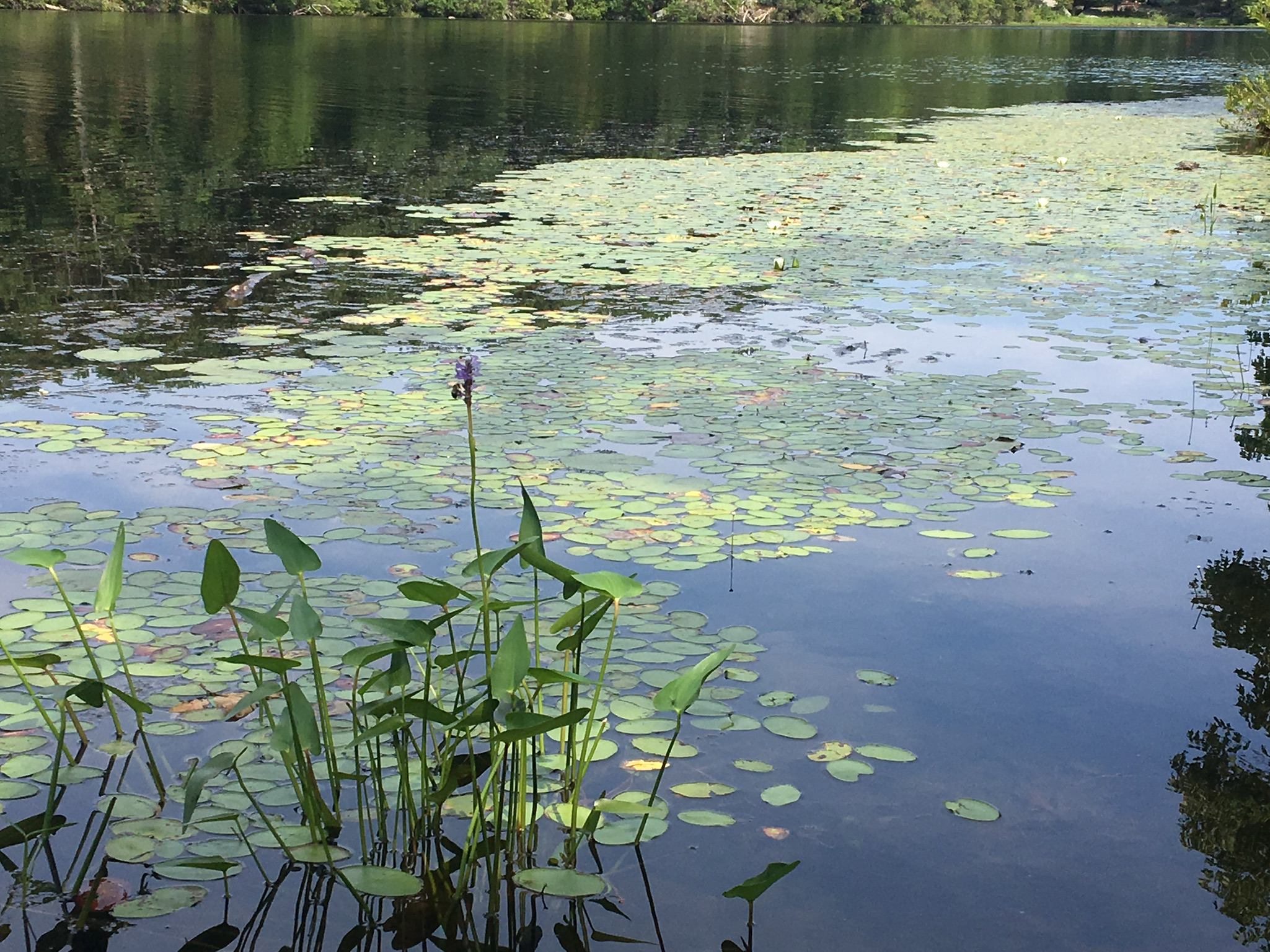 scenic lilypad pic from Helene - Harriman camps -Aug 2018.jpg