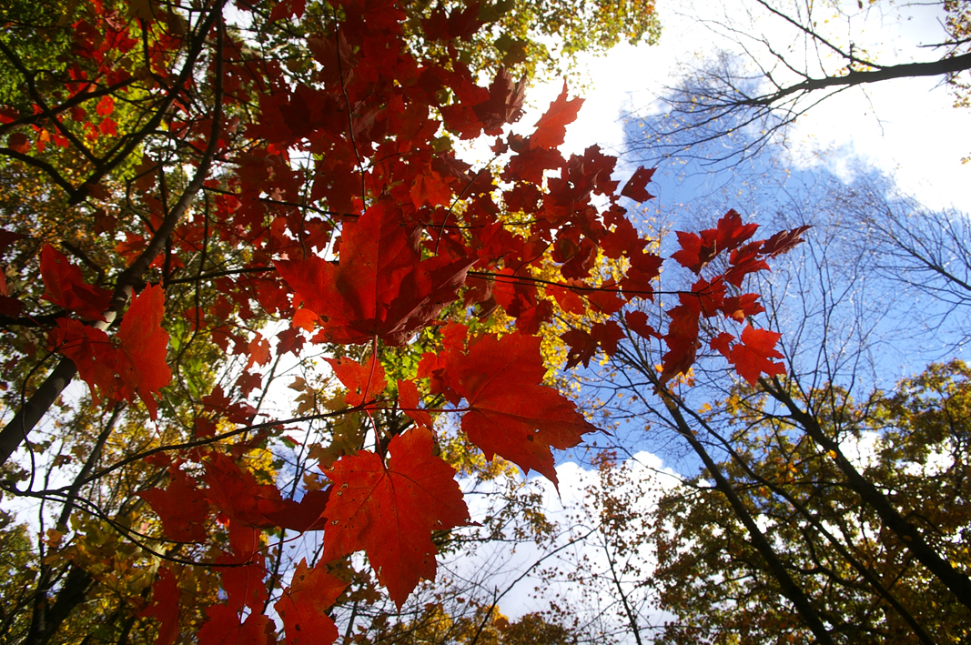 foliage_3 - from M Riley - red leaves and sky.jpg