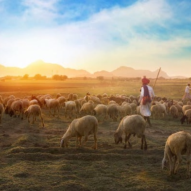 shepherd with sheep|positively jane