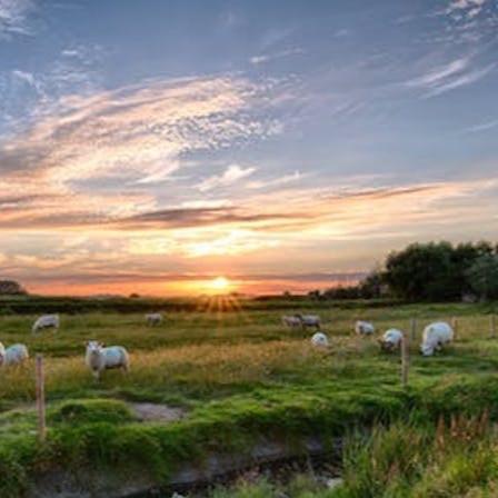 sheep+in+field.jpg