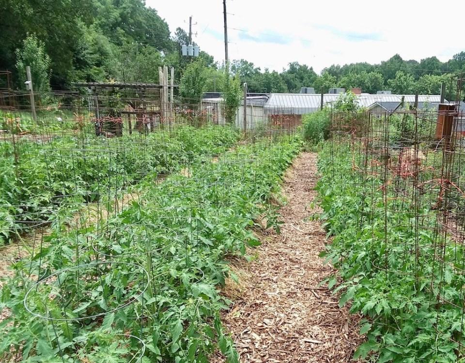 Plant-a-Row-Tomatoes-1.jpg