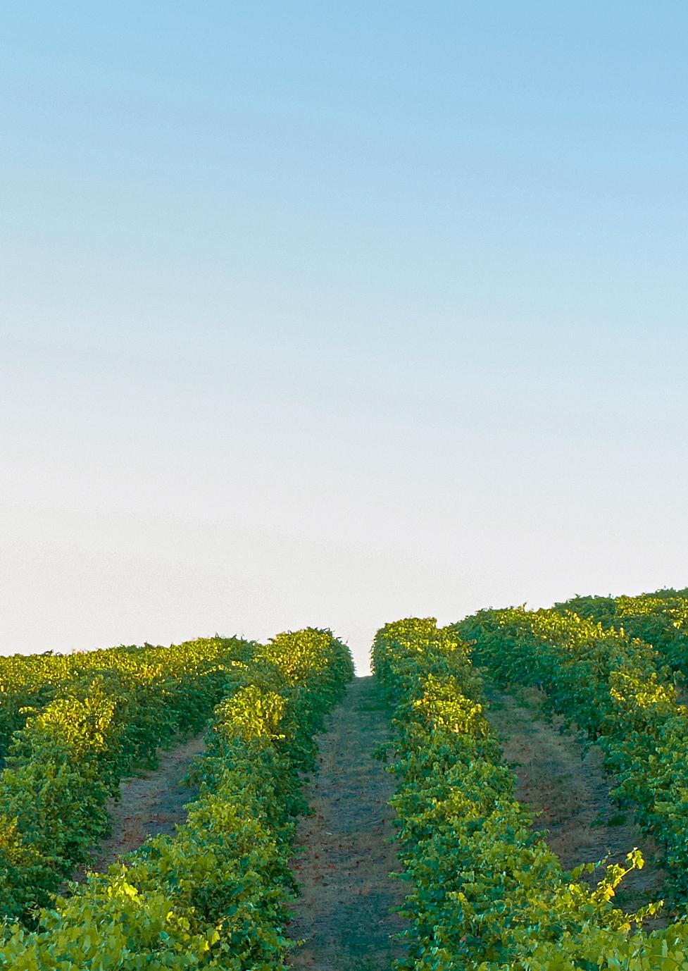 generic vineyard pic.jpg