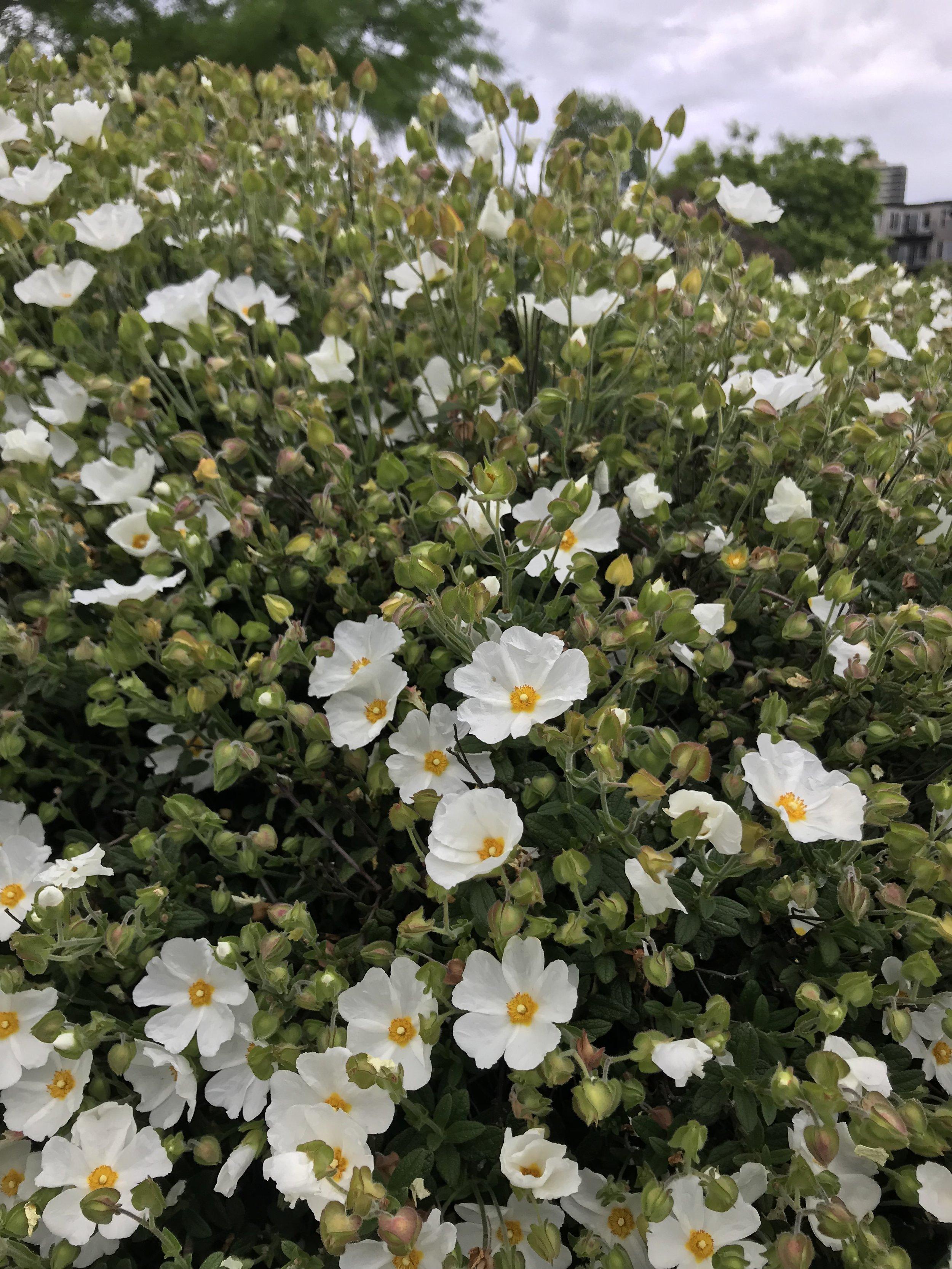 white flowers PDX.jpg