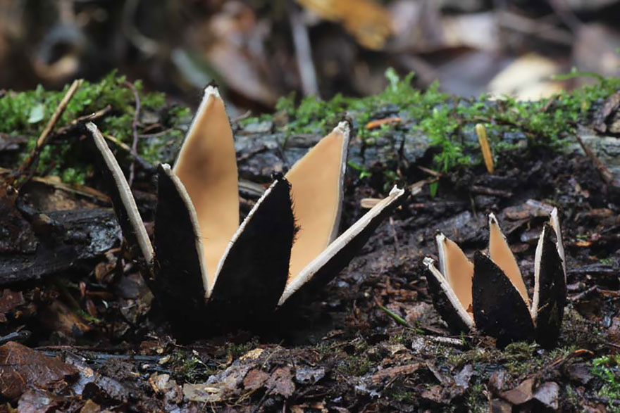 Chorioactis geaster   - This mushroom is commonly known as the   devil's cigar   or the Texas star in the United States, while in Japan it is called kirinomitake (   キリノミタケ   ).