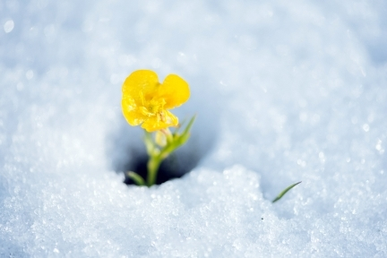 Fragile yellow flower breaking the snow cover
