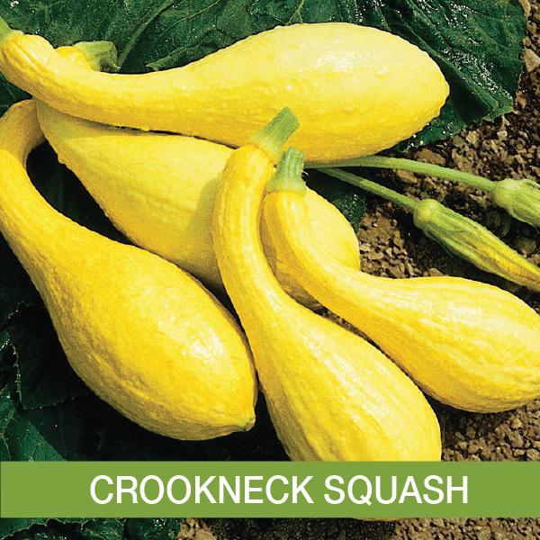Crookneck Squash