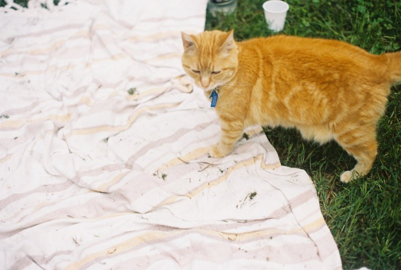 orange cat on picnic rug