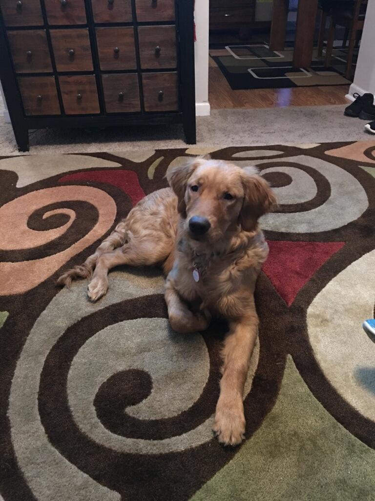 Golden Retriever Puppies for Sale — Milwaukee Doodles