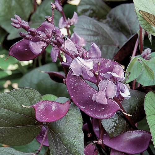 Hyacinth Bean Plant 'Ruby Moon'