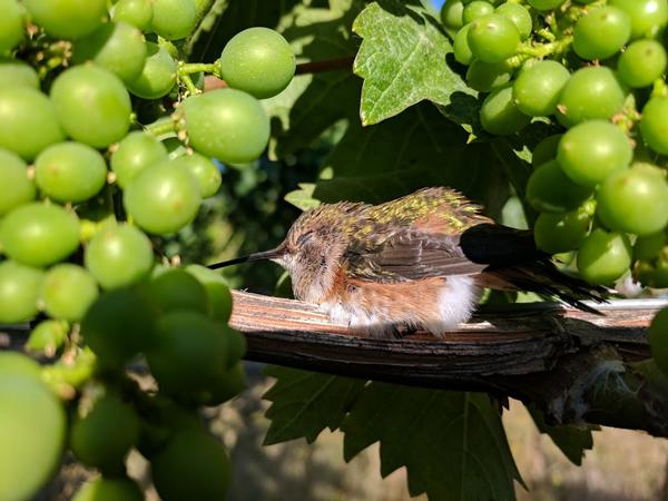 Humming-Bird-in-Grapes.jpg