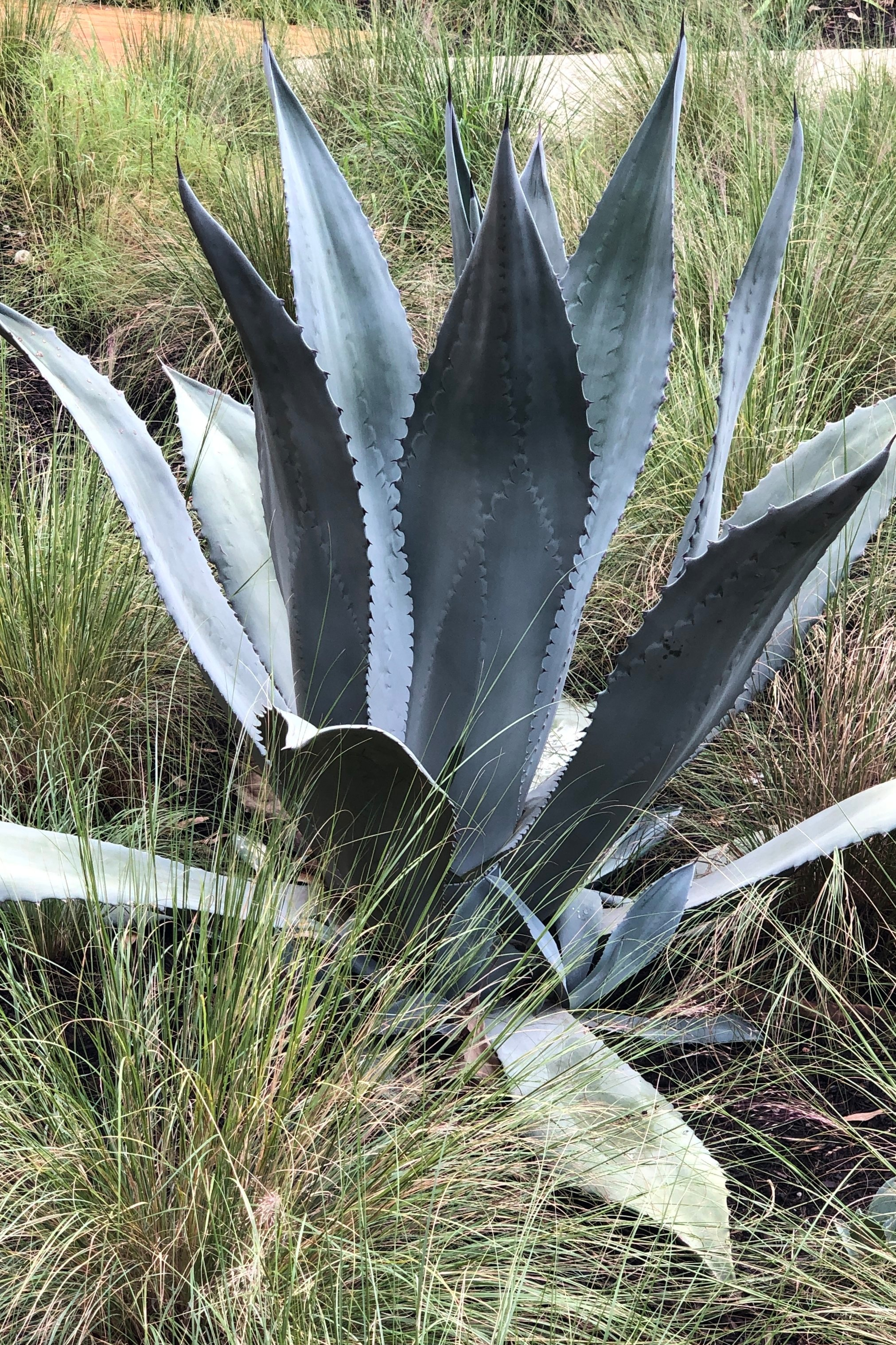 Is that agave?