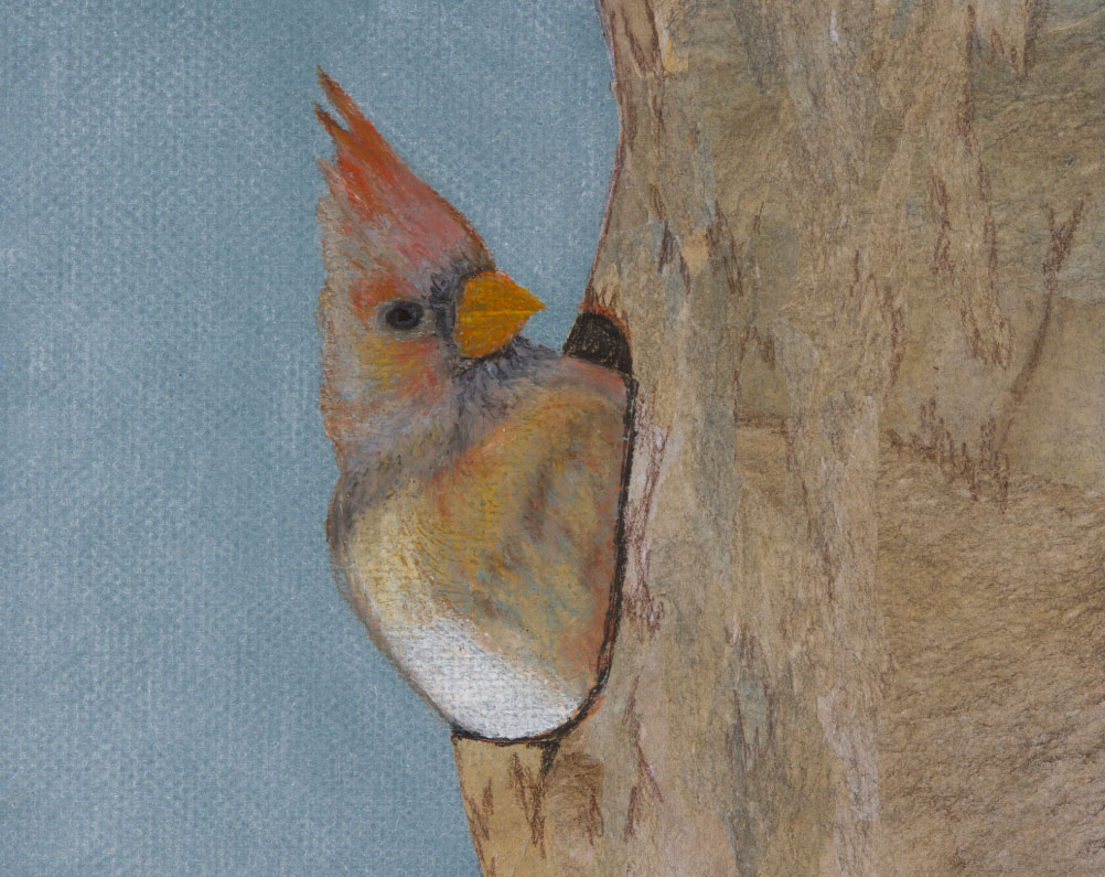 "Mrs. Cardinal, 8""x10"" drawing. Cardinals stay with us throughout the winter."