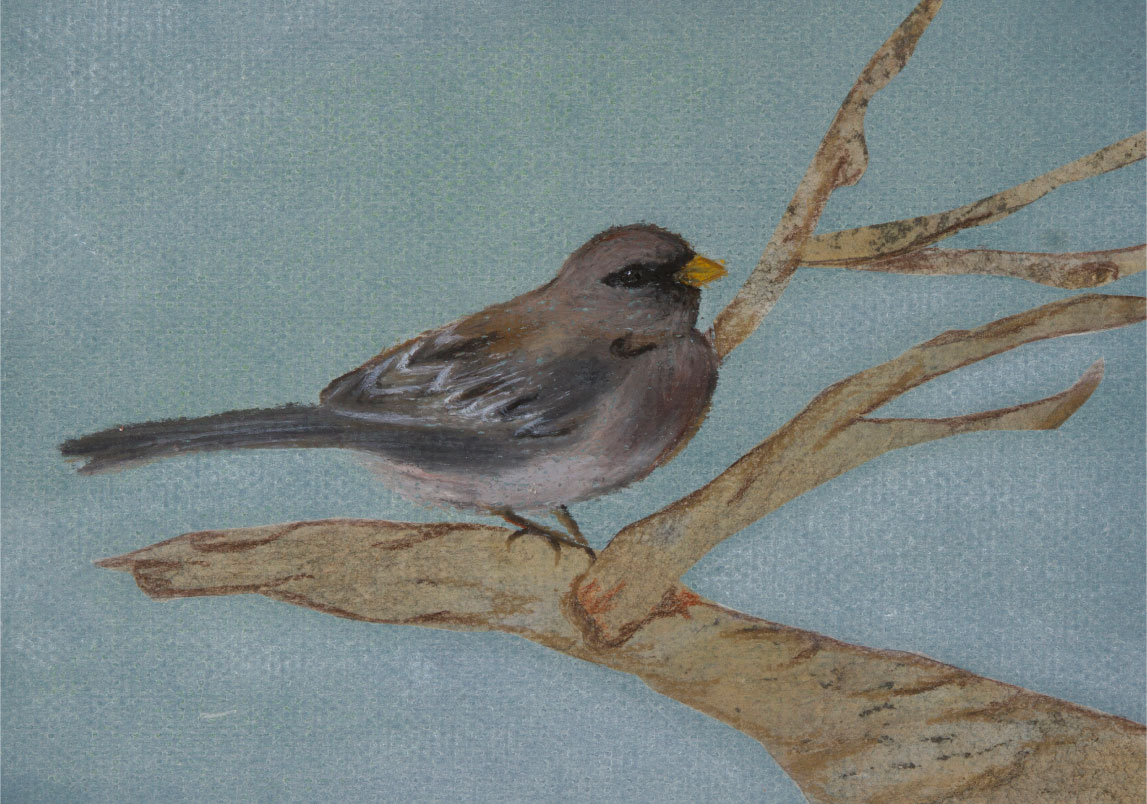 "Little Grey Bird, 8""x10"" drawing.  Pine Siskins spend their winters with us in the evergreens."