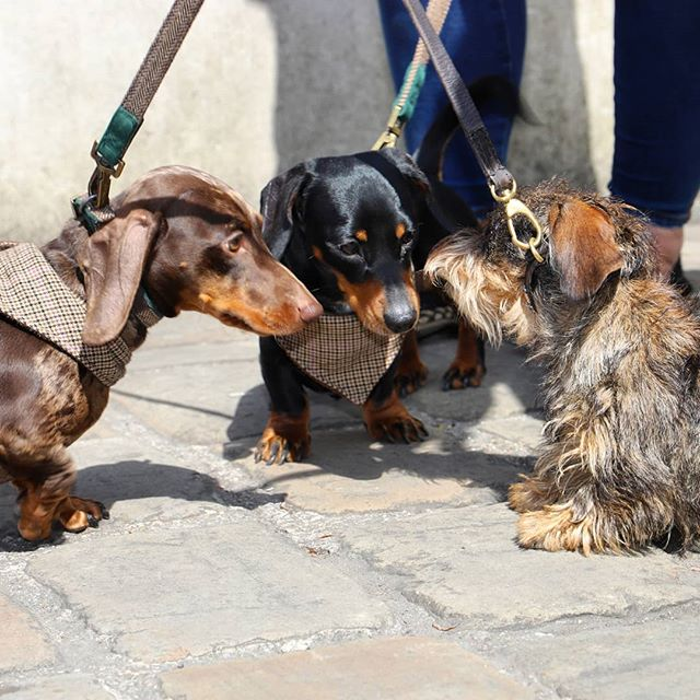 So we've got a busy few months coming up! FromtheSouthofEnglandin BournemouthtotheNorththento Scotland... Hoping to make lots of sauages some new sausage friends (and the pup parents too of course.) Take a look at these sausgaes saying hello to new friends a few weeks ago at our #pupupcafe in Taunton! •  www.pupup.cafe/tickets •  #puppuccino #pupupcafe #dachshund#dachshunds #dog #dachshundsofinstagram #dogs #dogsofinstagram #sausagedog #doxie #dachshundlove #dachshundoftheday #dachshundpuppy #puppy #dogstagram #love #teckel #sausagedogcentral #wienerdog #doxiesofinstagram #instadog #minidachshund #weinerdog #cute #miniaturedachshund #doxielove #puppylove
