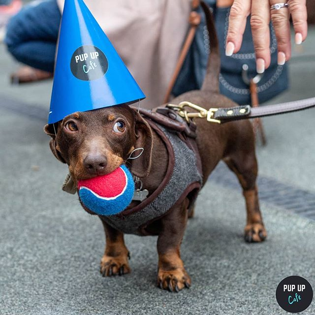 This is MY ball human... Take it and face the consequences 🐶 •  Photo by: @pawz_petphotography •  #puppuccino #pupupcafe #dachshund#dachshunds #dog #dachshundsofinstagram #dogs #dogsofinstagram #sausagedog #doxie #dachshundlove #dachshundoftheday #dachshundpuppy #puppy #dogstagram #love #teckel #sausagedogcentral #wienerdog #doxiesofinstagram #instadog #minidachshund #weinerdog #cute #miniaturedachshund #doxielove #puppylove