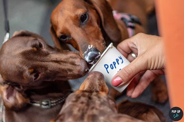 Puppuccinos are for sharing! Sorry Poppy 🙄🐶 •  Photo by: @pawz_petphotography •  #puppuccino #pupupcafe #dachshund#dachshunds #dog #dachshundsofinstagram #dogs #dogsofinstagram #sausagedog #doxie #dachshundlove #dachshundoftheday #dachshundpuppy #puppy #dogstagram #love #teckel #sausagedogcentral #wienerdog #doxiesofinstagram #instadog #minidachshund #weinerdog #cute #miniaturedachshund #doxielove #puppylove