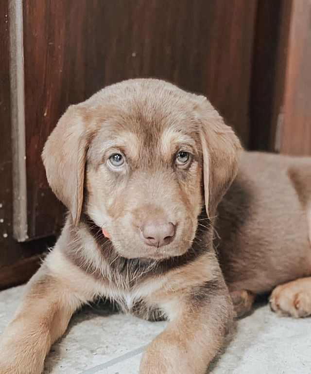‼️FOSTERS NEEDED IMMEDIATELY‼️ LOCATION: NORMAN, OKLAHOMA  Who loves P U P P I E S?🐶 We have 4 of these little nuggets needing to be placed in foster homes TODAY. They are 12 week old Bloodhound/German Shepherd mix babies. Ideally, we want TWO homes to take in TWO pups, however they can be separated if absolutely necessary. Look at those hound dog eyes and droopy ears - how can you deny them?? They are so so sweet as any typical puppy is. Oh, and don't forget the puppy breath. 🌟What does being a foster mean? Fostering an animal with IF Rescue means you bring a rescue in need of a home into your own home temporarily while we get the animal ready for their forever home. This means feeding, exercising, socializing, administering medicine, bringing the animal to scheduled vet appointments, basic training, attending adoption events, and loving the animal as if they were your own. Whether it be a few weeks or a little longer, you keep the animal safe in your home until their adoption day! 🌟How do I become a foster? To become a foster, please fill out a foster application at our website, infinityfarmsok.org!  What are you waiting for?? Apply for an application NOW at infinityfarmsok.org to take these babies home until they get adopted. THEY NEED YOU!🐾