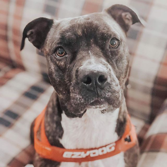 """‼️URGENT FOSTER NEEDED FOR LUNA‼️ LOCATION: NORMAN, OK MUST BE PLACED BY 3:00 CST TODAY  Meet our sweet Luna girl. She's the smartest, snuggliest, most loving dog! She's 2 years old, housebroken, crate trained, gentle, and super curious about everything. She doesn't seem to enjoy being with other dogs much, and would probably do best in a home where she is an """"only child."""" She is protective of her foster family, and loves her human foster brother SO big. She would be an excellent addition to a family who wants to show her lots of love, and who has the patience to continue to teach her commands...she's a quick learner! *disclaimer* Luna is not in any danger.  If you are willing to open up your home for sweet Luna, please apply to foster her at our website infinityfarmsok.org 🌟 • • • #infinityfarmsok #adoptme #adoptdontshop #dogrescue #dogsofok #dogsofokc #infinityfarmsstrong #dogfriendlyokc #dogadoption #friendlydog #animals #puppies #doggo #rescuepup #rescuedog #oklahoma #oklahomadogrescue #oklahomaanimalrescue #savetheanimals #savethedogs"""