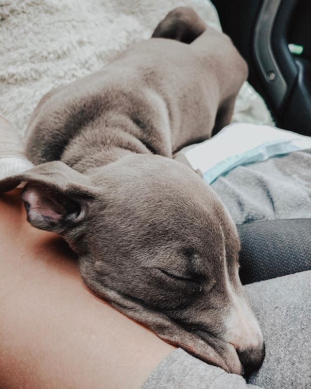 Hi, i'm Gigi. I'm a 8 week old blue pittie.🐶 Thanks to dog dumpers breeders and irresponsible pet ownership, I found myself in the shelter where my Mom and sisters ended up on the euthanasia list due to space. Luckily, my mama  was able to come with me to my foster home through Infinity Farms. Yay! Unfortunately it was just my mama and I though... my sisters passed away before the rescue could even pick them up :( But yesterday, I told my foster mom I wasn't feeling very good. I was weak, tired, skinny, hot, dehydrated, puking and was pooping straight blood. 😢Do you know what I have? PARVO. I have parvo.😭 I feel so helpless, I can't even lift up my own head. Thanks to my foster mom, she instantly sprung into action once she noticed my symptoms and RUSHED me to the vet so I could get all the medical attention I needed to hope I survive. Paws crossed we caught my virus in time.🤞 DID YOU KNOW❓ Parvo's mortality rate is 90% if left untreated and 5-20% if aggressively treated!! Anyways, I'm sick, exhausted and scared, however Infinity Farms bill is STARTING at $1,000.00 to save my life, and they NEED YOUR HELP!!! Please help me, I am just an 8 week old baby and my immune system isn't working with me to fight off the virus. As you know, Parvo is DEADLY and I am hoping I can fight this off. Will you donate to my care??🐾🙏 DONATIONS: ➡️ EVERY little bit counts! Every single cent will make a difference. 🙏🏻 ➡️ all donations are TAX deductible! ➡️ donations can be made using 'DONATE' button at the link in our bio ➡️ donations can be made directly to our rescue by going to our paypal link! https://www.paypal.com/fundraiser/charity/2474410  Donations are tax deductible and can be made direct on our website or through our PayPal. The email for PayPal is animalrescue@infinityfarmsok.org
