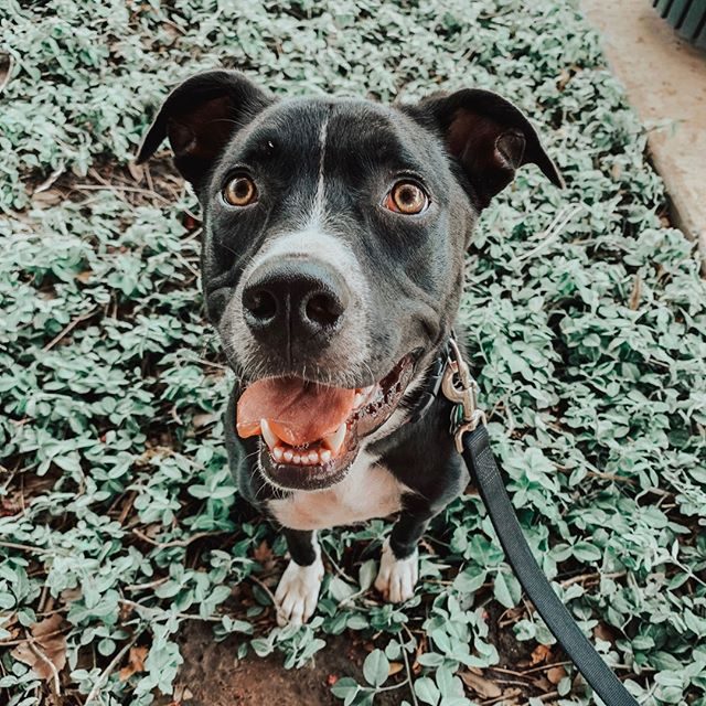 ‼️ADOPTER NEEDED FOR LUCY‼️ Lucy is approx 9 month old Pittie/Lab mix who is fully vetted, spayed and microchipped. She is super playful and full of puppy energy. She loves to be near her humans whether it's to play or snuggle and she loves to wiggle all over when she meets new people. She is potty trained but is still learning how to ask to go outside but she does give cues it's time by sniffing around all over. She does sleep all night in her kennel and is learning to go in on command but she would prefer to share the bed or couch with her humans if possible. She gets along well with other dogs but sometimes is a bit guarded with more aggressive dogs till she figures out if they want to play or not. She does well with cats but mostly wants to play them more than they want to play with her. She also is good with children but she does play rough at times so she would need to be supervised with kids younger than about 7 yo as she is quite strong and can be rambunctious. She loves to play fetch and tug o war and is a fairly heavy chewer so tough toys are a must for her. She is very much food and treat driven when it comes to her response to learning new things. She also responds better with a calm tone rather then loud correction. She would do great in a home with another young dog that likes to play but would also be fine as the only dog getting all the love and attention!  Head to infinityfarmsok.org to fill out an adoption application to give Lucy a forever home🌟🐶 . . . . . . .  #infinityfarmsok #infinityfarmsstrong #oklahomaanimalrescue #oklahomadogrescue #okanimalrescue #okdogrescue #okcdogmoms #okdogmom #dogfriendlyok #dogfriendlyokc #dogsofok #dogsofoklahoma #dogsofokc #dogsofoklahomacity #citydogs #furbaby #pupoftheday #instagrampup #dogsofinstagram #adoptdontshop #rescuedog #savealife #rescuedontbuy #adoptme #adoptadog #adoptabledog #happydog #instapup #dogrescuesunite #startastoryadopt