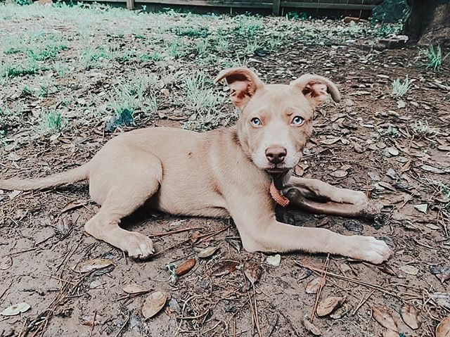 🌟URGENT FOSTER OR ADOPTER NEEDED FOR GEMMA🌟  Who needs some puppy love in their life?? Meet Gemma, the sweetest 5 month old blue eyed Pittie.😍 This girl is a cute, spunky, little pup that can't wait to grow up with a family to call her own! She is DARLING and absolutely needs a place to crash by tomorrow morning! Can you help her out?  Head to infinityfarmsok.org to fill out a foster or adoption application to give Gemma a temporary or forever home!🌟🐶 . . . . . . #infinityfarmsok #infinityfarmsstrong #oklahomaanimalrescue #oklahomadogrescue #okanimalrescue #okdogrescue #okcdogmoms #okdogmom #dogfriendlyok #dogfriendlyokc #dogsofok #dogsofoklahoma #dogsofokc #dogsofoklahomacity #citydogs #furbaby #pupoftheday #instagrampup #dogsofinstagram #adoptdontshop #rescuedog #savealife #rescuedontbuy #adoptme #adoptadog #adoptabledog #happydog #instapup #dogrescuesunite #startastoryadopt