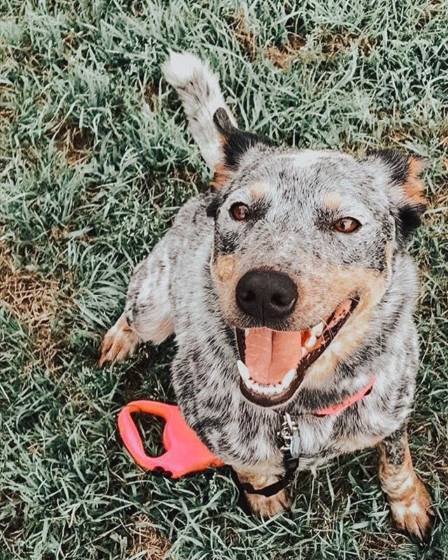 ‼️ FOSTER NEEDED FOR LOLA‼️ Lola is a beautiful 2 year old Australian cattle dog. She is very very smart, loyal, loves to play with her toys and go for walks. She can be hyper at times but she also likes to just lay around having down time and get lovings. She's crate trained, potty trained, knows commands such as sit and lay, however were working on her manners. She gets along with dogs her size or smaller, she can get a little too playful around cats/kittens. She would probably do best in a home with older children, a more calm environment and a tall fence.  Head to infinityfarmsok.org to fill out an adoption or foster application to give Lola a foster home to prep her for adoption🌟🐶 . . . . . . .  #infinityfarmsok #infinityfarmsstrong #oklahomaanimalrescue #oklahomadogrescue #okanimalrescue #okdogrescue #okcdogmoms #okdogmom #dogfriendlyok #dogfriendlyokc #dogsofok #dogsofoklahoma #dogsofokc #dogsofoklahomacity #citydogs #furbaby #pupoftheday #instagrampup #dogsofinstagram #adoptdontshop #rescuedog #savealife #rescuedontbuy #adoptme #adoptadog #adoptabledog #happydog #instapup #dogrescuesunite #startastoryadopt