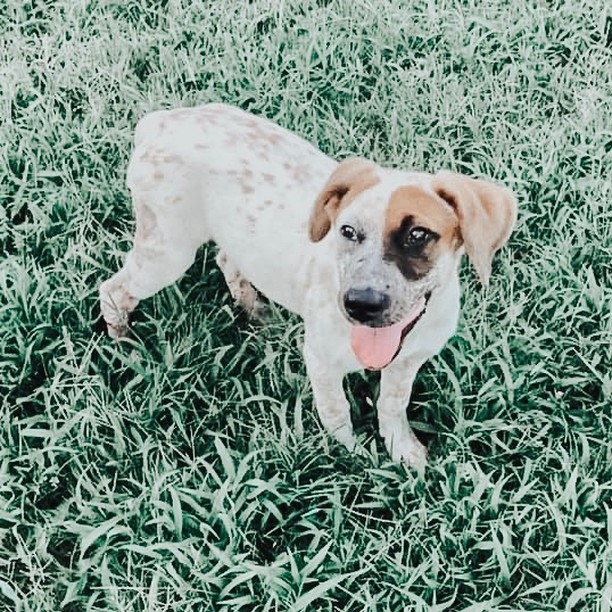 ‼️URGENT FOSTER OR ADOPTER NEEDED FOR BONNIE‼️ Who needs some puppy love in their life?? Meet Bonnie, the sweetest 4 month old Cattle Dog Mix!😍 She is the most ADORABLE, cute, spunky, little pup that can't wait to grow up with a family to call her own!  Head to infinityfarmsok.org to fill out a foster or adoption application to give Bonnie a temporary or forever home!🌟🐶 . . . . . . #infinityfarmsok #infinityfarmsstrong #oklahomaanimalrescue #oklahomadogrescue #okanimalrescue #okdogrescue #okcdogmoms #okdogmom #dogfriendlyok #dogfriendlyokc #dogsofok #dogsofoklahoma #dogsofokc #dogsofoklahomacity #citydogs #furbaby #pupoftheday #instagrampup #dogsofinstagram #adoptdontshop #rescuedog #savealife #rescuedontbuy #adoptme #adoptadog #adoptabledog #happydog #instapup #dogrescuesunite #startastoryadopt
