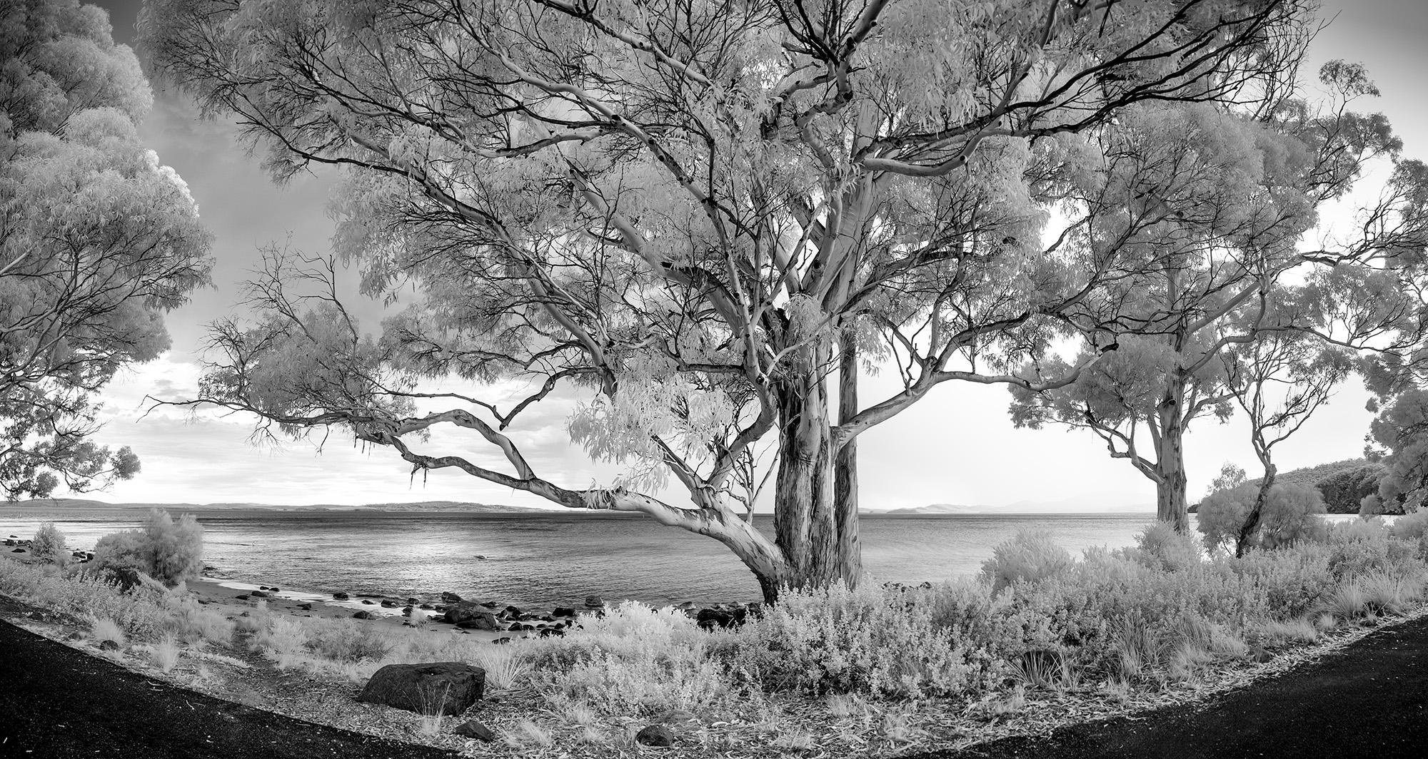 Silver Peppermint Tree, Hobart, Tasmania, 2016