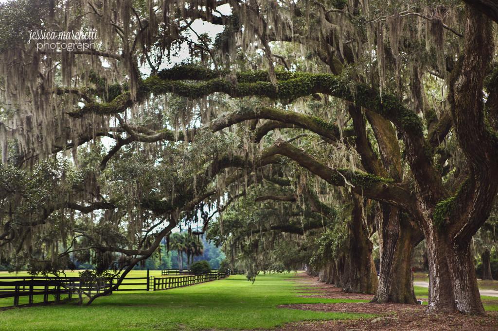 Boone Hall Plantation Row of Oak Trees