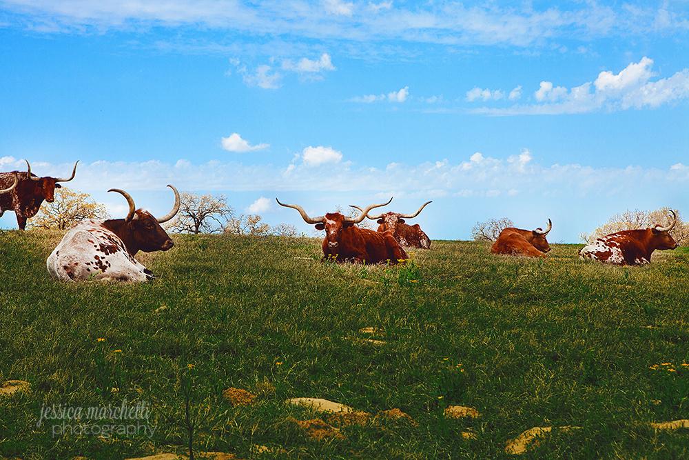 Texas Longhorn WM