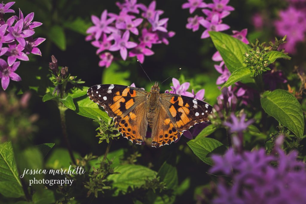 Butterfly-Pentas-2-1024x683.jpg