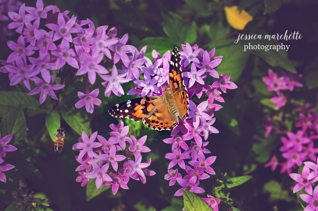 Butterfly-Pentas-5-1024x682.jpg