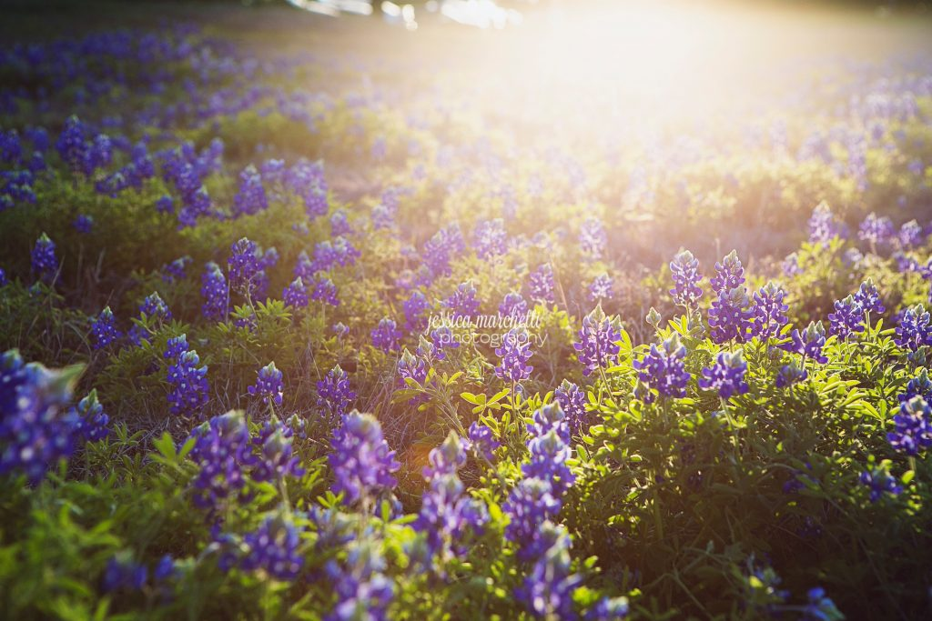 Texas-Bluebonnet-Wall-ARt_0001-1024x683.jpg
