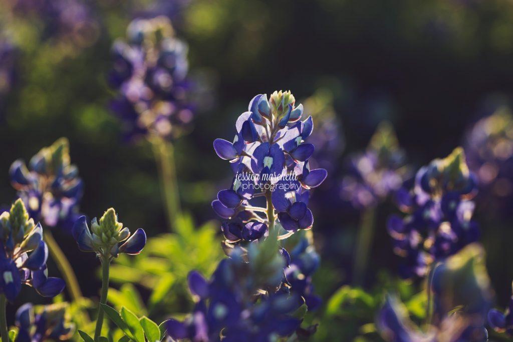 Texas-Bluebonnet-Wall-ARt_0005-1024x683.jpg
