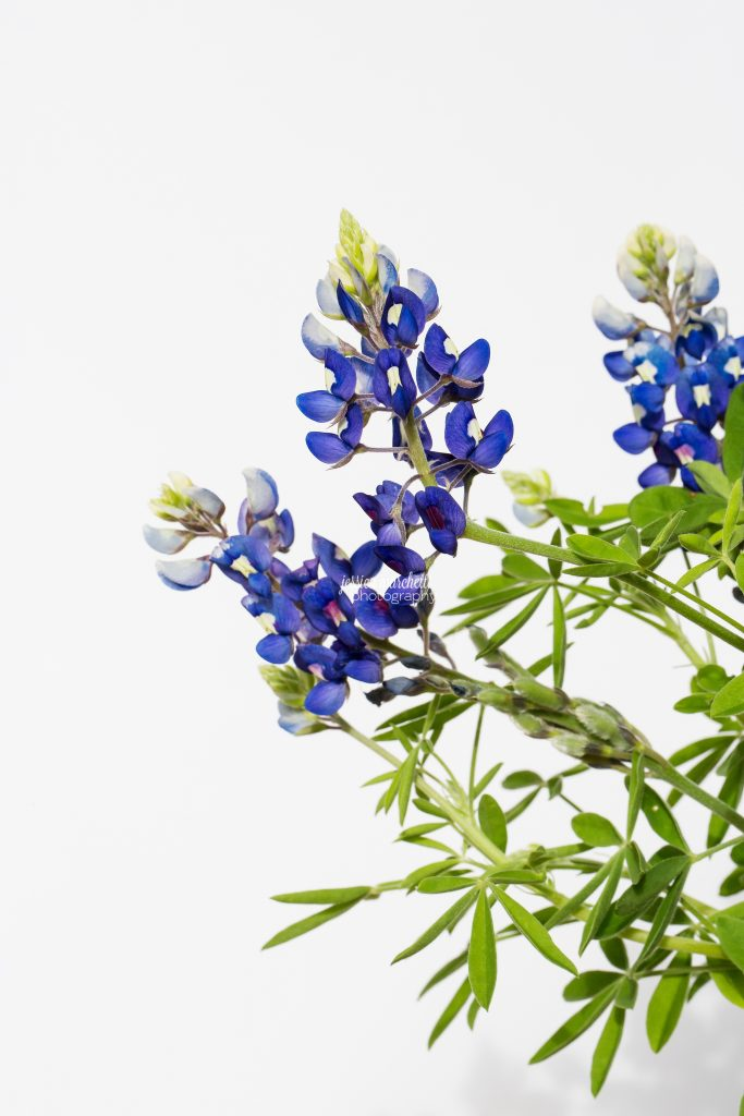 Texas-Bluebonnet-Wall-ARt_0012-683x1024.jpg