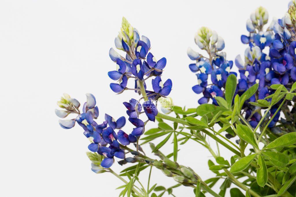 Texas-Bluebonnet-Wall-ARt_0013-1024x683.jpg