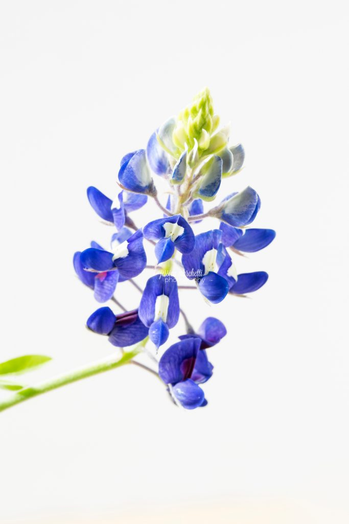 Texas-Bluebonnet-Wall-ARt_0015-683x1024.jpg