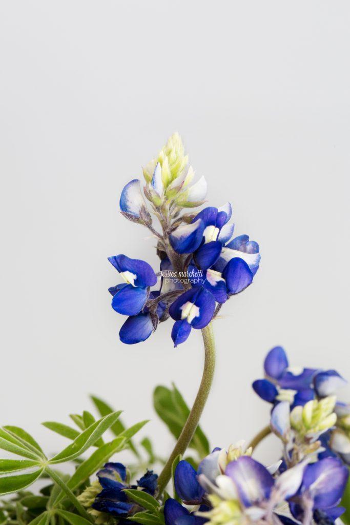 Texas-Bluebonnet-Wall-ARt_0023-683x1024.jpg