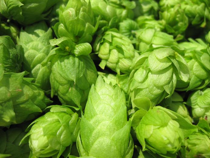 fresh hops.jpg