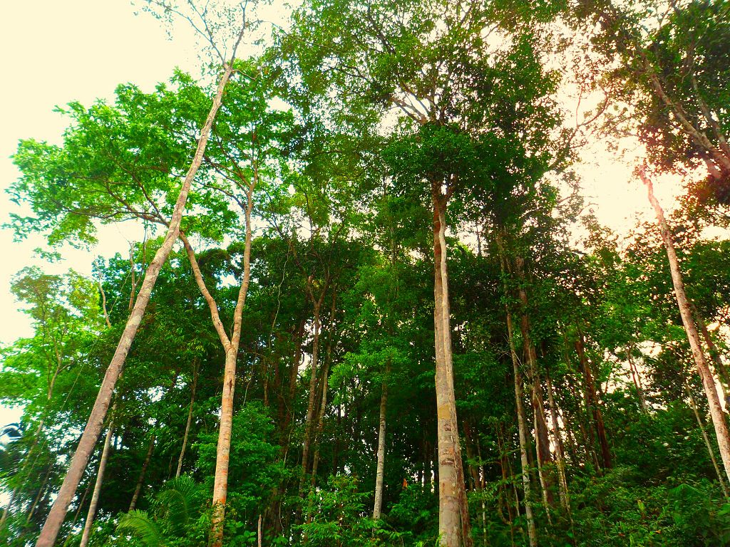 Amazon_rainforest_-_panoramio.jpg