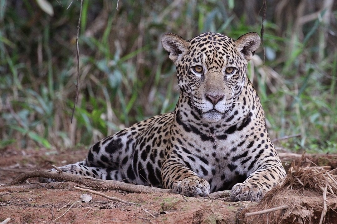 The South American jaguar at Piquiri River, Mato Grosso state, Brazil, is another animal at great risk.