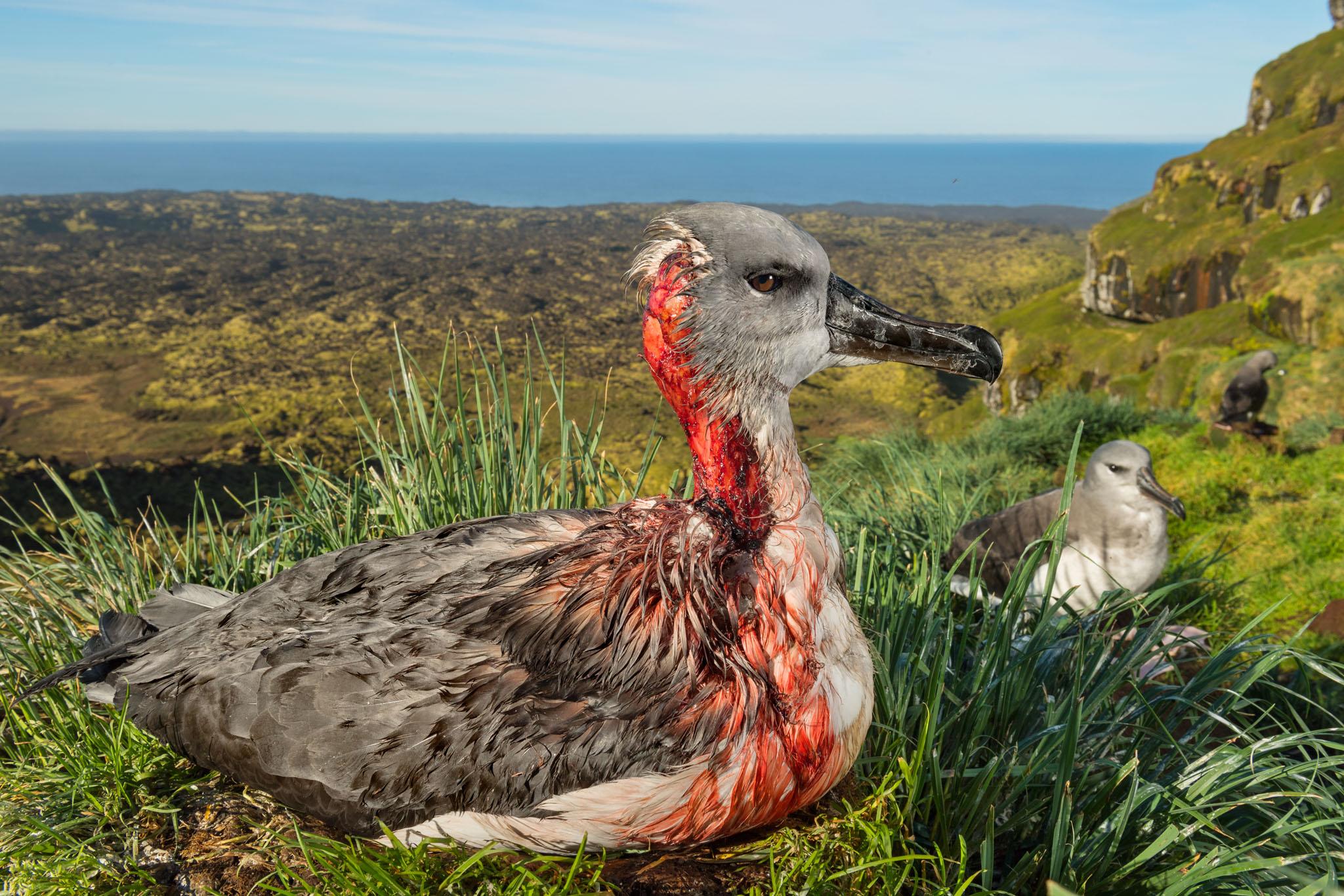 zombie-mouse-seabirds-marion-island-thomas-peschak-2.jpg