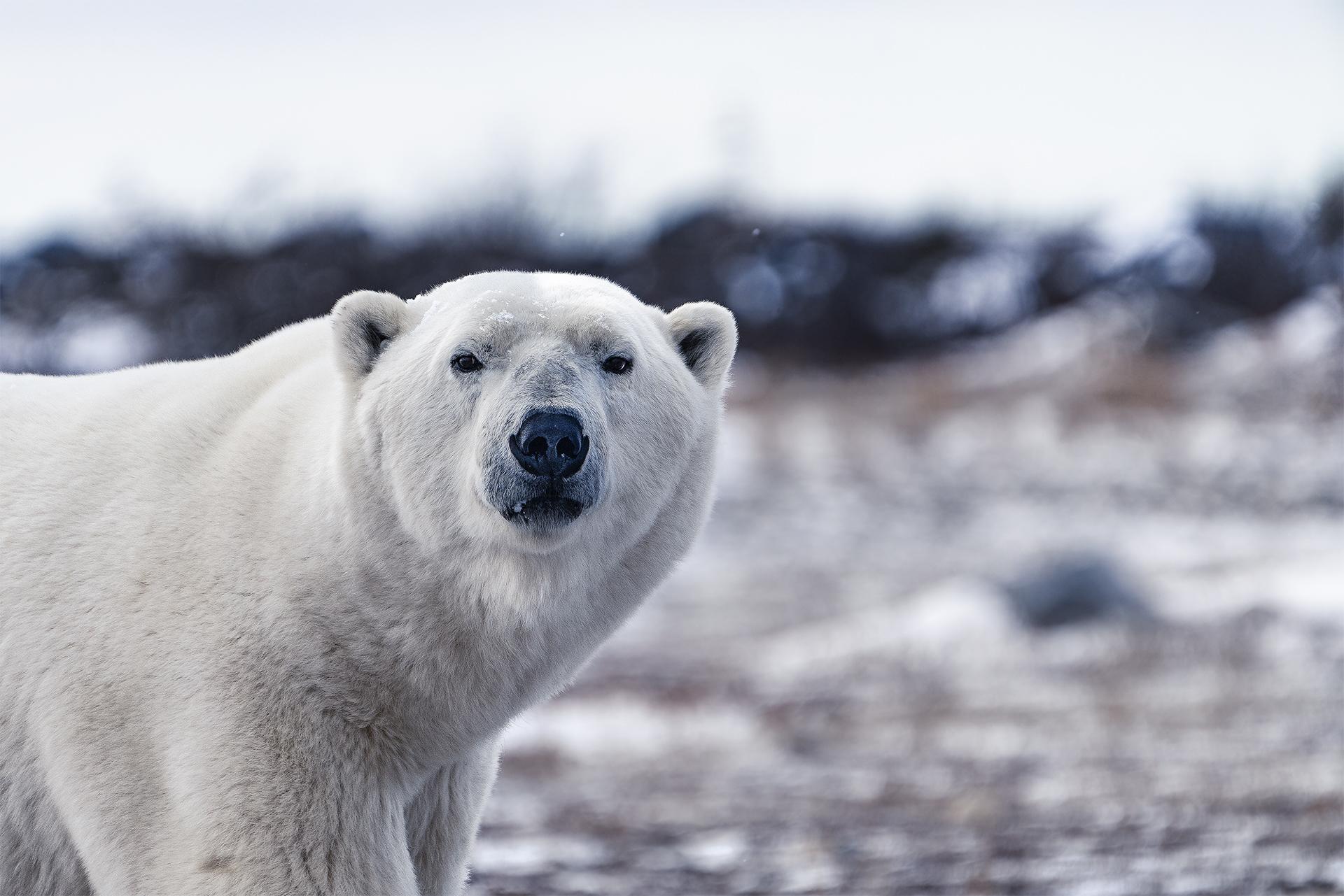 Ankit_Kumar_Polar_Bear_Stare.jpg