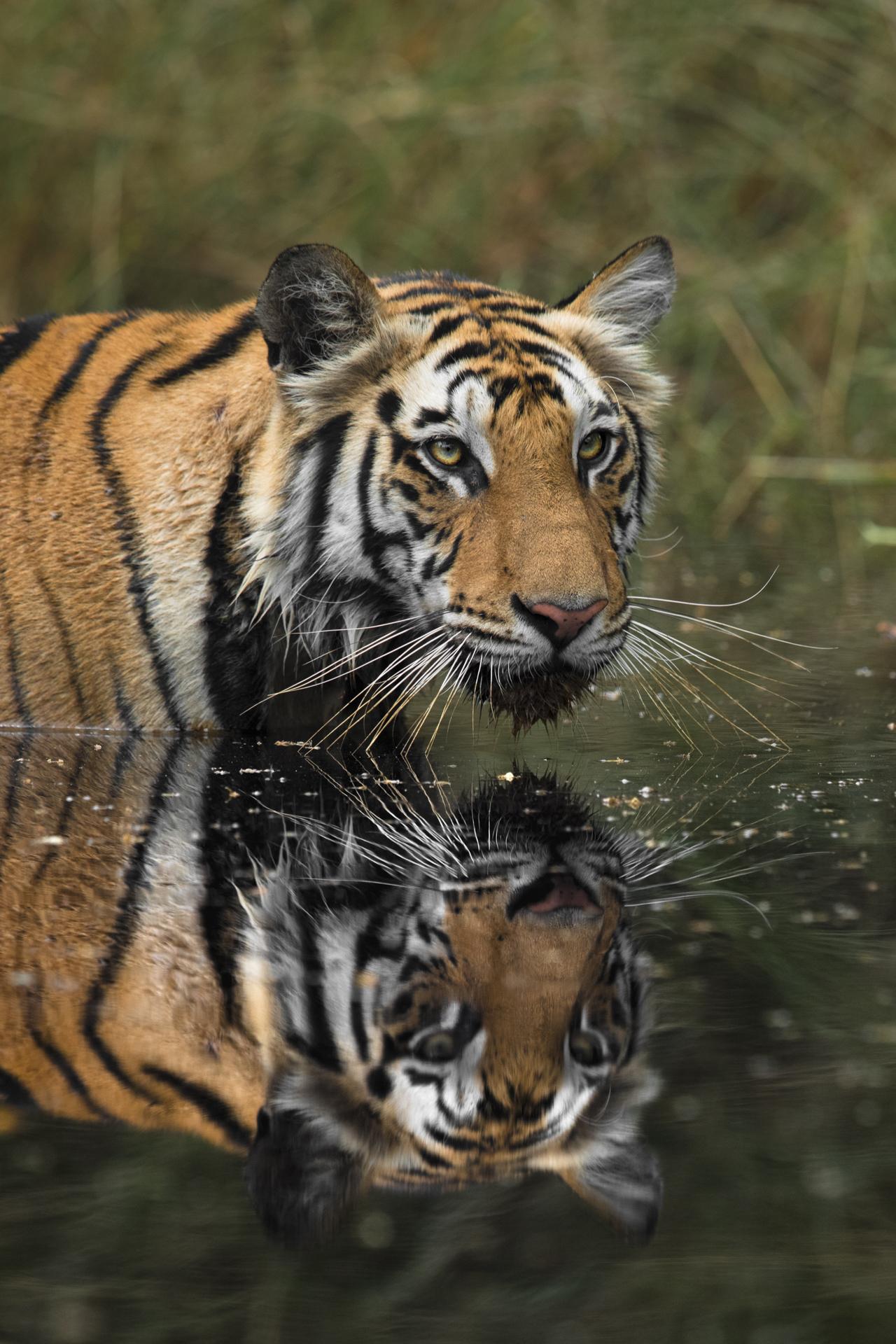 Ankit_Kumar_Tiger_Reflection_Portrait.jpg