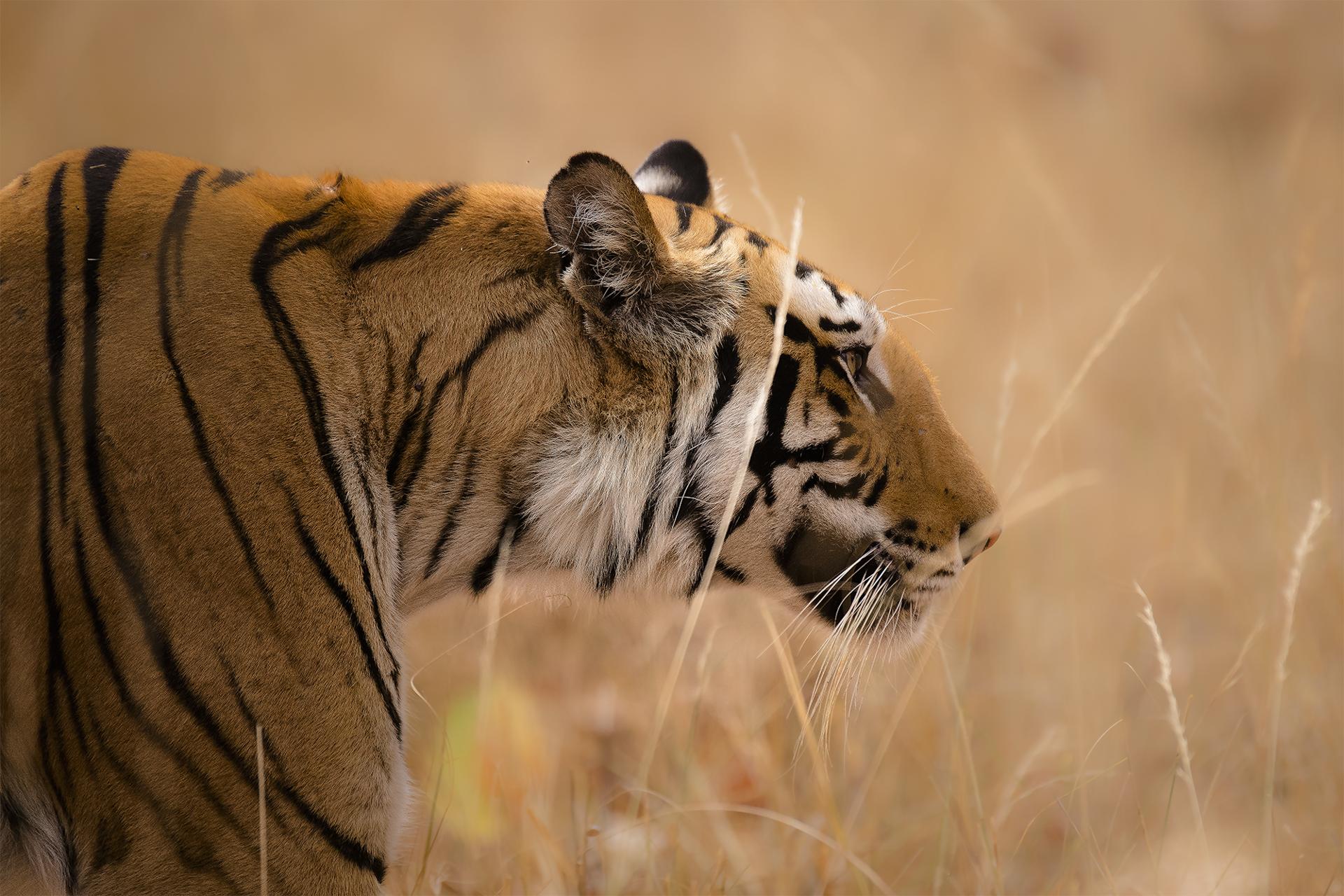 Ankit_Kumar_Tiger_Stalking.jpg