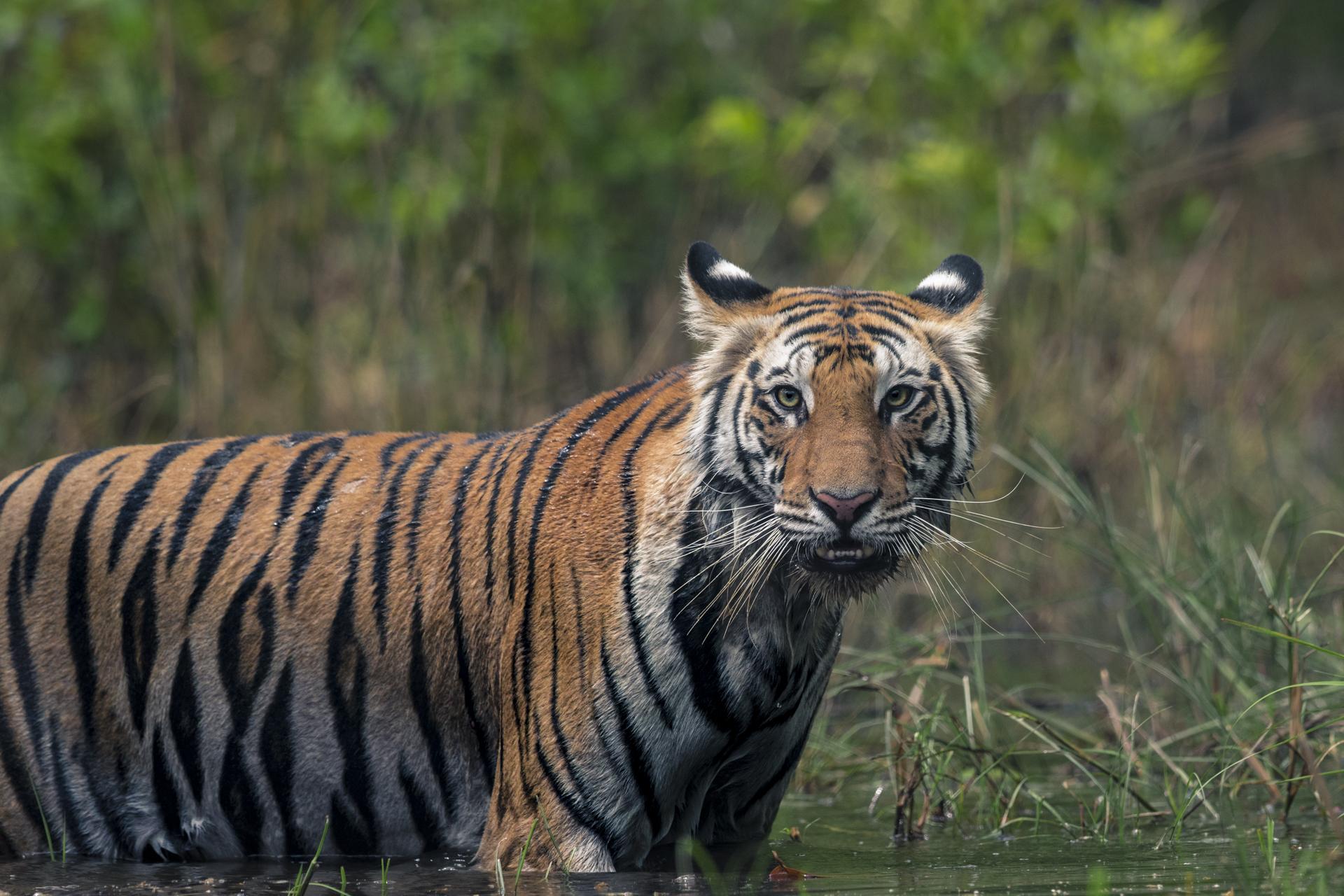 Ankit_Kumar_Tiger_Photo.jpg