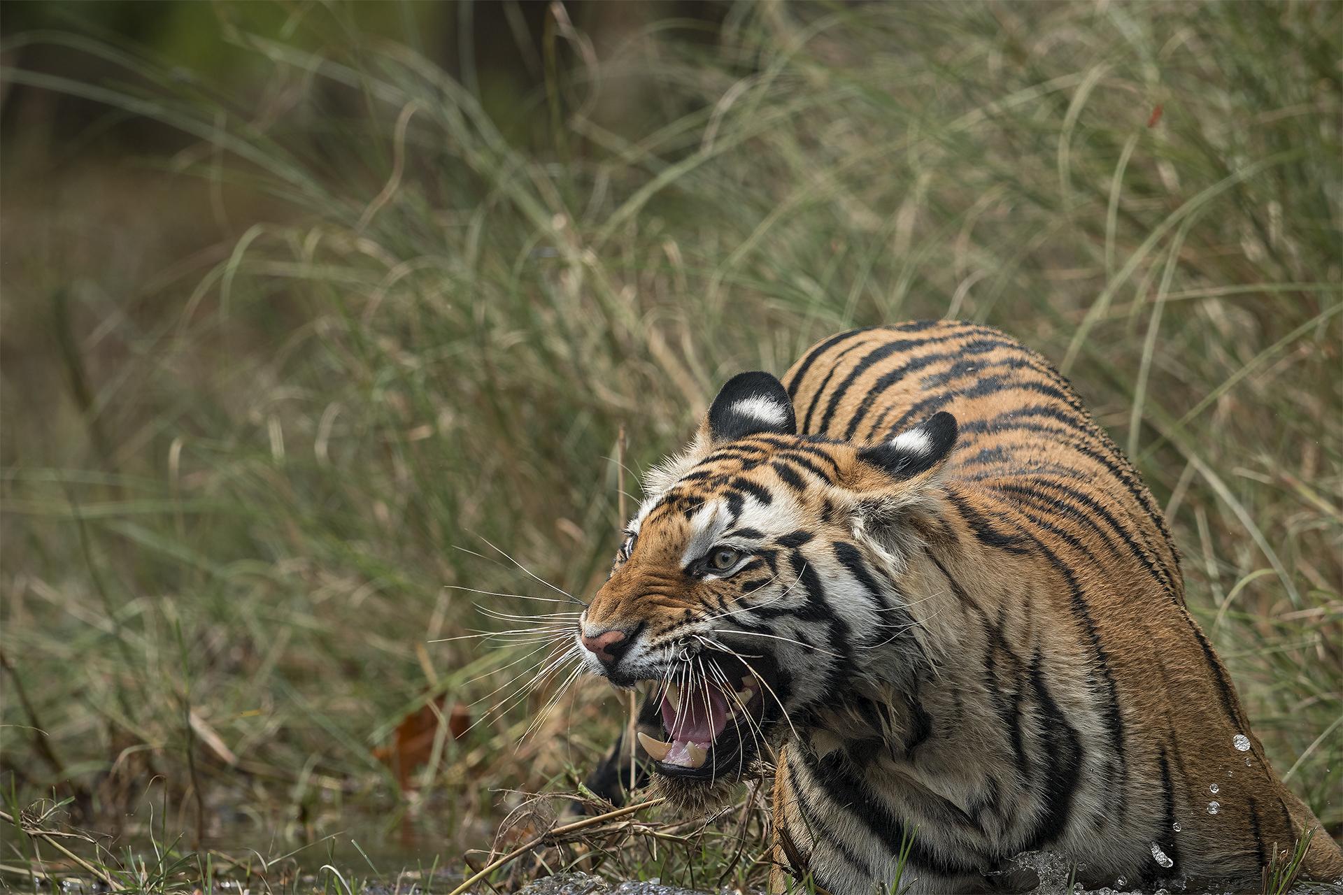 Ankit_Kumar_Snarling_Tiger.jpg