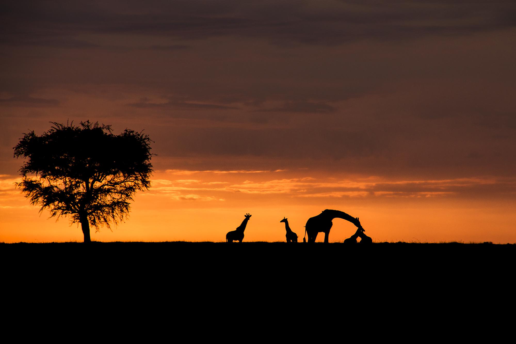Ankit_Kumar_Giraffe_Sunset.jpg